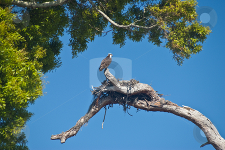 Nesting Osprey stock photo, Osprey (Pandion haliaetus), sometimes known as the sea hawk, guarding its nest. by Steve Carroll