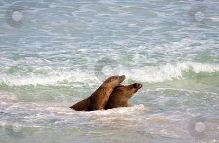 Battle for the Beach stock photo, A pair of Australian Sea Lion Bulls battling over the females on the beach at Seal Bay on Kangaroo Island by Mike Dawson