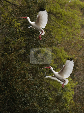 Ibises Landing stock photo, White Ibises Landing in a tree, Forest Preserve, Hilton Head, SC by Thomas Marchessault