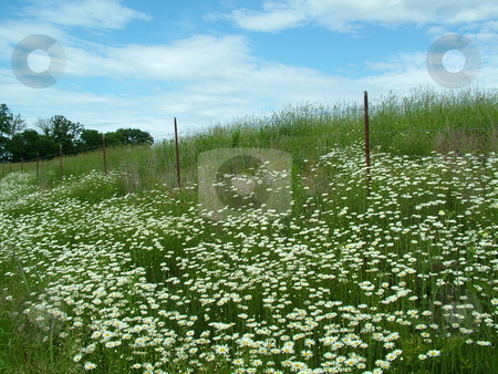 Daisies stock photo, Wild daisies decorate the fencing along a country road, with their flaunting presentation of yellow suns with bursting white rays. by Krystal McCammon