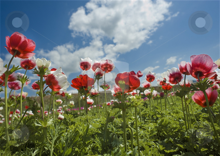 Red flower field stock photo, Poppy Anemone in the field from bellow by Noam Armonn