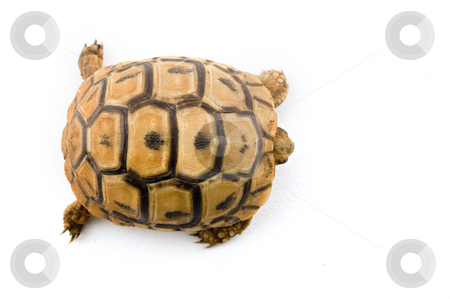 Baby turtle from above stock photo, Baby turtle from above isolated on white by Noam Armonn