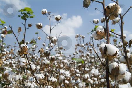 Cotton field  stock photo, Close-up of Ripe cotton bolls on branch by Noam Armonn