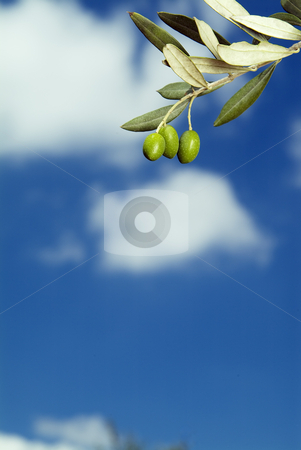Three olives on branch stock photo, Three olives on branch aginst blue sky with clauds by Noam Armonn