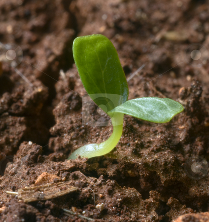 New sprout stock photo, Young sprout emerging from the ground by Noam Armonn