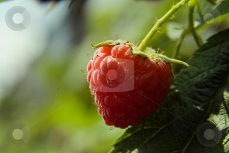 Raspberry stock photo, Raspberry on plant by Noam Armonn