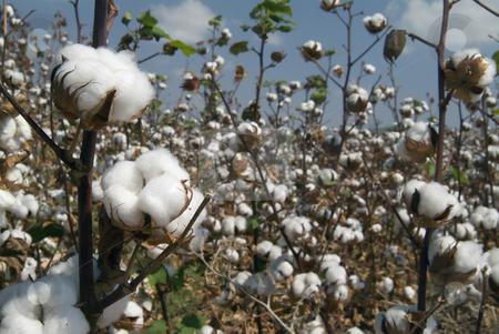 Cotton branch  stock photo, Close-up of Ripe cotton bolls on branch by Noam Armonn