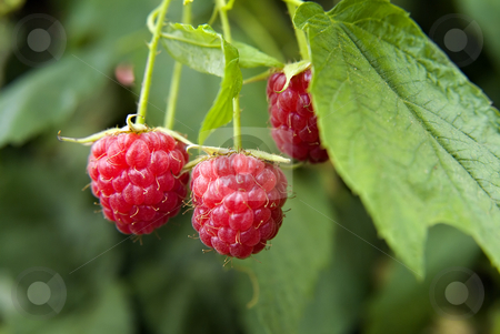 Raspberry stock photo, Raspberry on plant by Noam Armonn