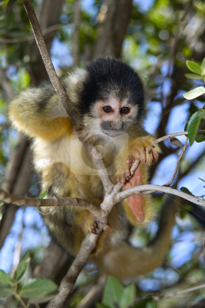 Squirrel monkey stock photo, Cute squirrel monkey (saimiri) on a tree by Noam Armonn