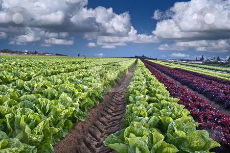 Lettuce field stock photo, Lettuce field in the Sharon region, Israel by Noam Armonn