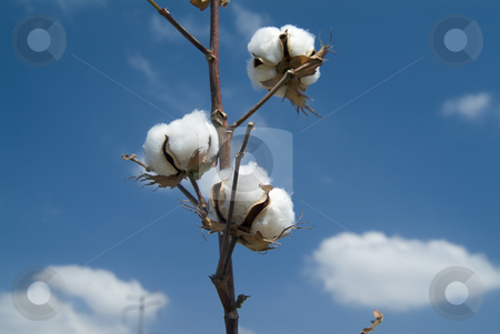 Cotton branch  stock photo, Close-up of Ripe cotton bolls on branch against cloudy blue sky by Noam Armonn