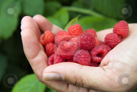 Raspberry stock photo, Hand full of raspberres by Noam Armonn