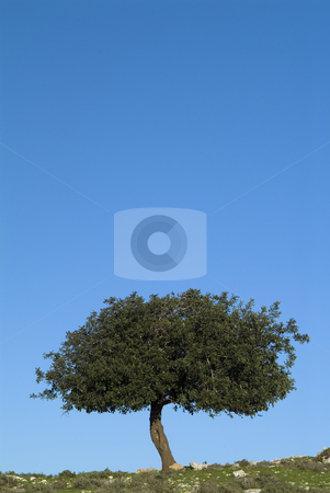 Oak tree and blue sky_1 stock photo, Small oak tree against clear blue sky. by Noam Armonn