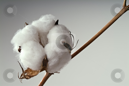 Cotton ball stock photo, Close-up of Ripe cotton ball on branch isolated by Noam Armonn