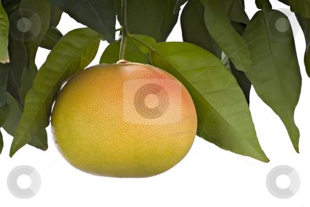 Pink Grapefruit stock photo, Pink or blood Grapefruit hanging on branch and isolated on white by Noam Armonn