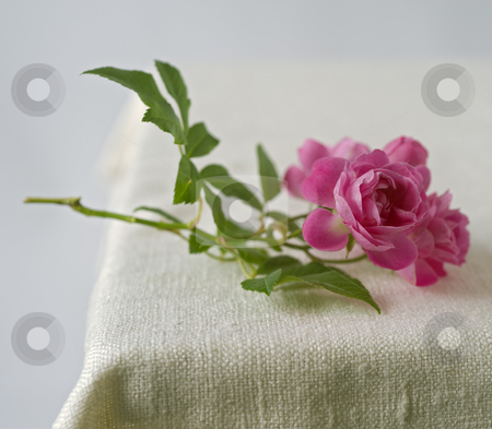 Small pink roses stock photo, Small pink roses on rustic fabric by Noam Armonn