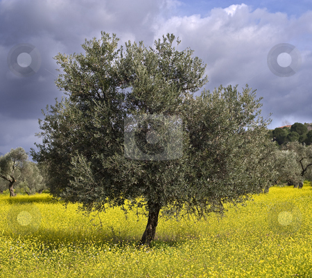 Olive grove  stock photo, Anciant  olive grove in the Galilee, Israel by Noam Armonn