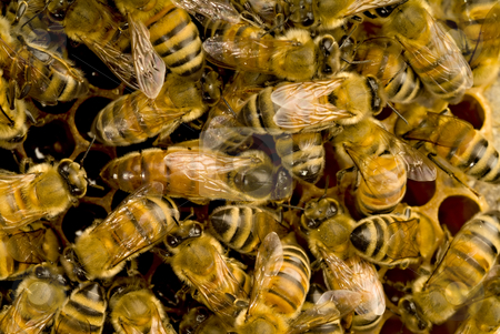 Bees inside beehive with the queen bee stock photo, Bees inside a beehive with the queen bee in the middle by Noam Armonn