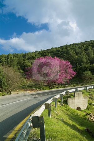 Cercis and  Road stock photo, Cercis tree in full rose bloom and a winding road by Noam Armonn