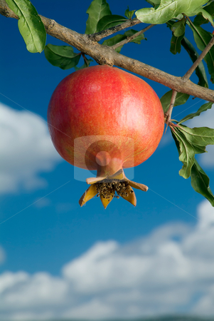 Pomegranate on branch stock photo, Pomegranate on branch against cloudy blue sky by Noam Armonn