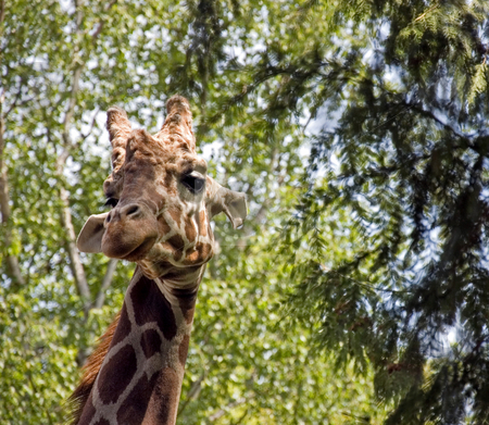 Giraffe With Head In Trees stock photo, This photo is a giraffe with it's head up in the trees with it's beautiful long eyelashes looking at the camera. by Valerie Garner