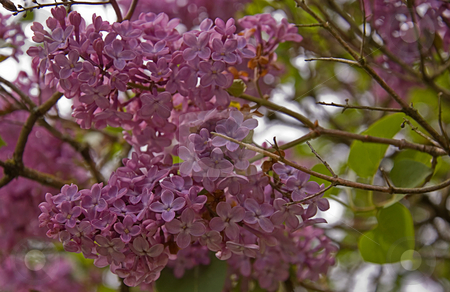 Closeup of Lilac Bush stock photo, Spring is in full swing upon seeing a lilac bush in bloom such as this pale purple one. by Valerie Garner
