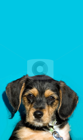 Cute Puppy stock photo, A an adorable puppy isolated over a blue background with copyspace. by Todd Arena