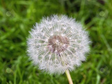Dandelion stock photo, Closeup of a dandelion head on a spring meadow. by Sinisa Botas
