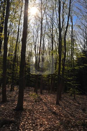Sun shining through trees stock photo, Sun shining through forest trees by Jaime Pharr