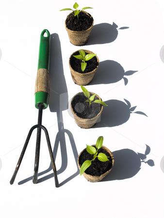 Bell pepper seedlings with rake stock photo, Bell pepper seedlings with rake on white background by John Teeter