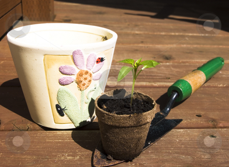 Bell pepper sprout being repotted stock photo, Bell pepper sprout being repotted with wooden background by John Teeter