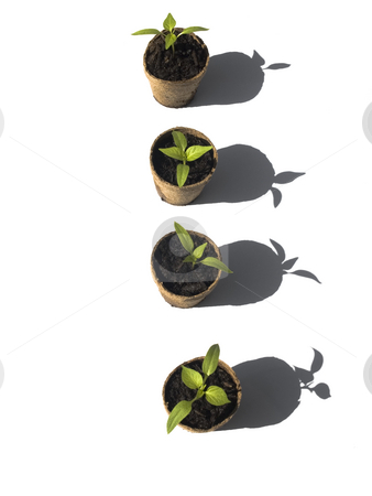 Five Bell pepper seedlings stock photo, Five Bell Pepper Seedlings in a row on white by John Teeter