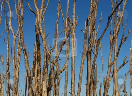 Bare Melaleuca Trees stock photo, Bare Melaleuca Trees in the Florida Everglades by Robert Cabrera