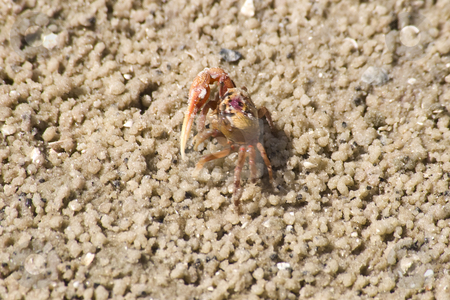 Tiny Baby Crab on Beach stock photo, Tiny baby cras on beach at Bradenton, Florida by Steve Carroll
