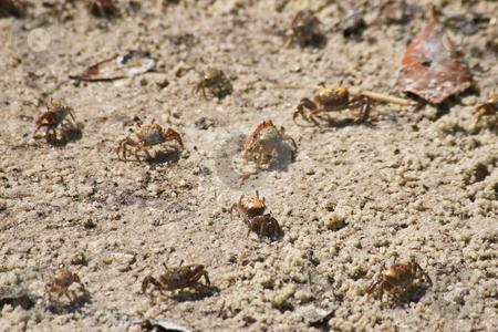 Tiny Baby Crabs on Beach stock photo, Tiny baby crabs on beach at Bradenton, Florida by Steve Carroll