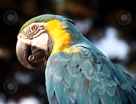 Blue and gold macaw closeup stock photo, Closeup of the head of a blue and gold macaw by Stacy Barnett