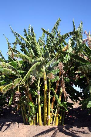 Banana trees stock photo, Beautiful banana trees against a vivid blue sky by Stacy Barnett