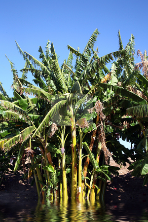 Banana trees 2 stock photo, Beautiful banana trees against a vivid blue sky by Stacy Barnett