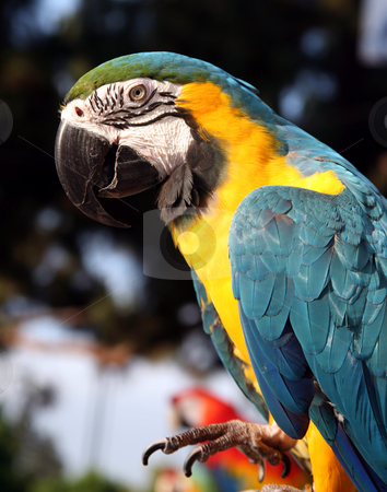 Blue and gold macaw with foot up stock photo, Blue and gold macaw with its foot lifted up by Stacy Barnett