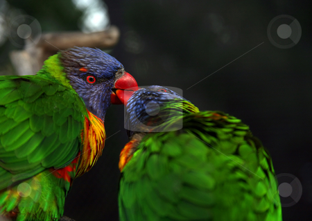 Bird kiss stock photo, Birds showing their love by kissing each other by Stacy Barnett