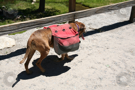 Backpack dog stock photo, Dog walking down the trail carrying a backpack by Stacy Barnett