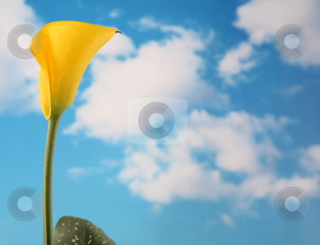Calla lilly 5 stock photo, Beautiful yellow colored calla lilly with cloudy sky background by Stacy Barnett