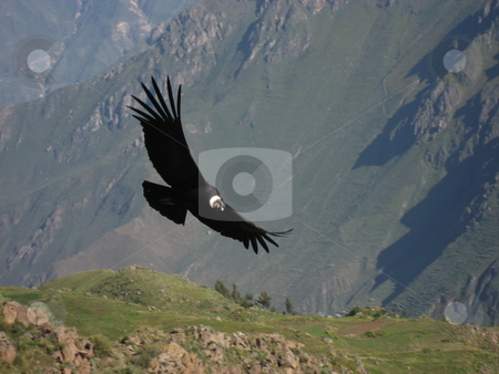 Condor in Peru stock photo, Condor in Colca Canyon using the heating air in the morning to climb to geater hights Peru by Jimme Woudstra