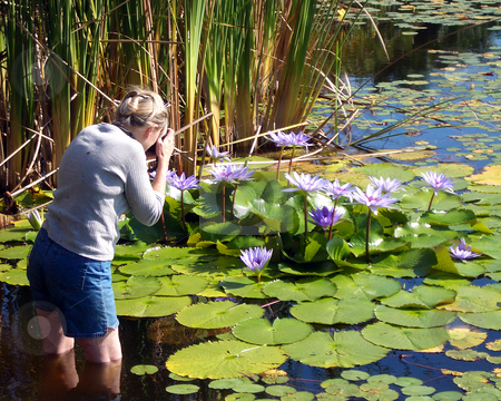 Photographing Water Lillies stock photo, Lady nature photographer standing in pond taking picture of purple water lilies. by Steve Carroll