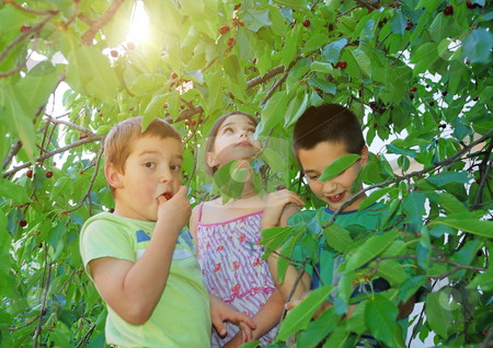 Children eating bing cherries stock photo, Children on ladders eating bing cherries in the shade of the tree with summer sun in background. by Ivan Paunovic