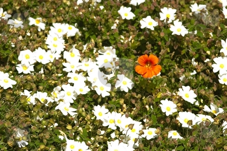 White flowers stock photo, White flowers in the gradens of Carmel Mission by Mariusz Jurgielewicz