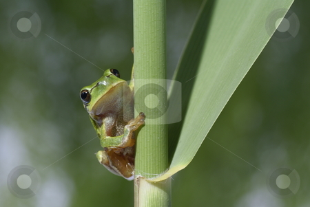Frog stock photo, Green frog sitting on reed in forest by Jolanta Dabrowska