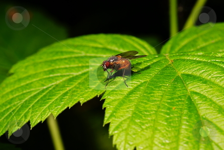 Fruitfly stock photo, Small colourful fly on green leaf nettle by Jolanta Dabrowska