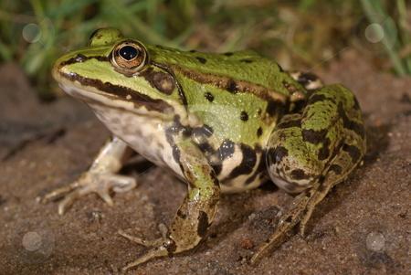 Frog stock photo, Big green frog sitting on wet sand by Jolanta Dabrowska