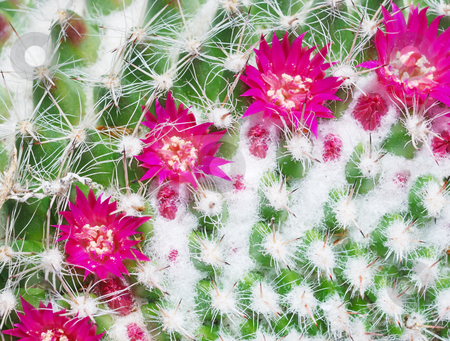 Mammillaria hahniana flowers stock photo, Close-up of a cactus Mammillaria hahniana flowers. by Ivan Paunovic